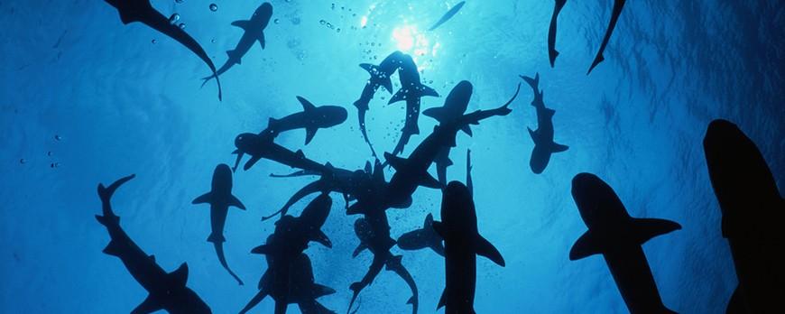 Tiburones en el Mediterraneo, especies y avistamientos