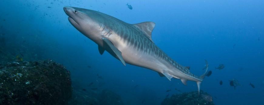 Muere una buceadora por un ataque de tiburón en la isla de Coco